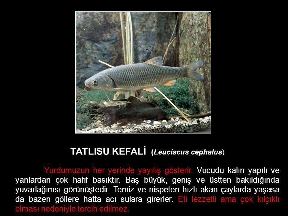 TATLISU KEFALİ (Leuciscus cephalus) Yurdumuzun her yerinde yayılış gösterir. Vücudu kalın yapılı ve yanlardan çok hafif basıktır. Baş büyük, geniş ve