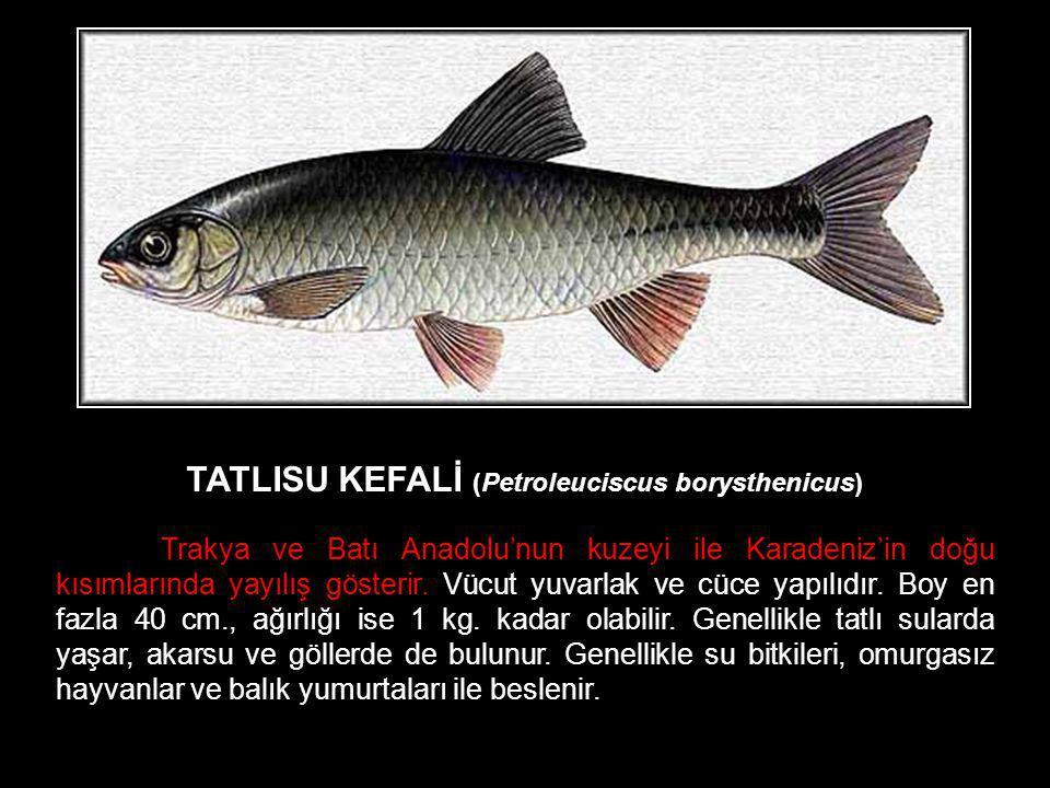 TATLISU KEFALİ (Petroleuciscus borysthenicus) Trakya ve Batı Anadolu'nun kuzeyi ile Karadeniz'in doğu kısımlarında yayılış gösterir. Vücut yuvarlak ve