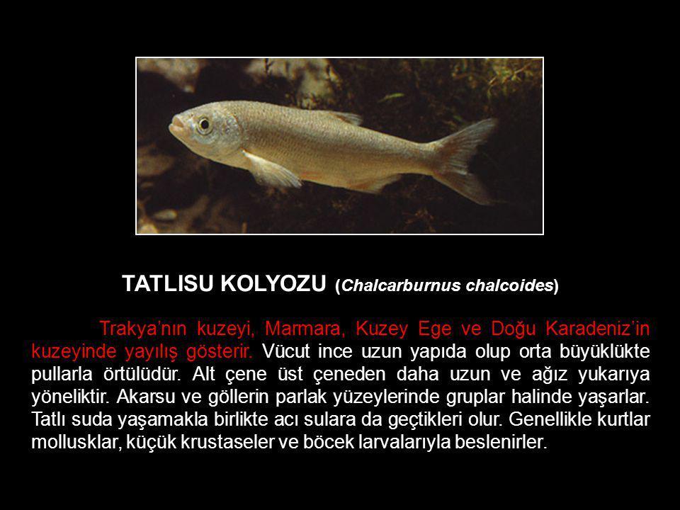 TATLISU KOLYOZU (Chalcarburnus chalcoides) Trakya'nın kuzeyi, Marmara, Kuzey Ege ve Doğu Karadeniz'in kuzeyinde yayılış gösterir. Vücut ince uzun yapı