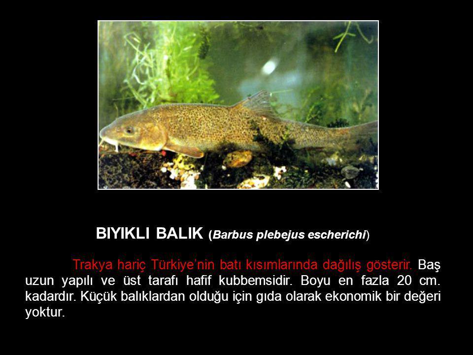 BIYIKLI BALIK (Barbus plebejus escherichi) Trakya hariç Türkiye'nin batı kısımlarında dağılış gösterir. Baş uzun yapılı ve üst tarafı hafif kubbemsidi