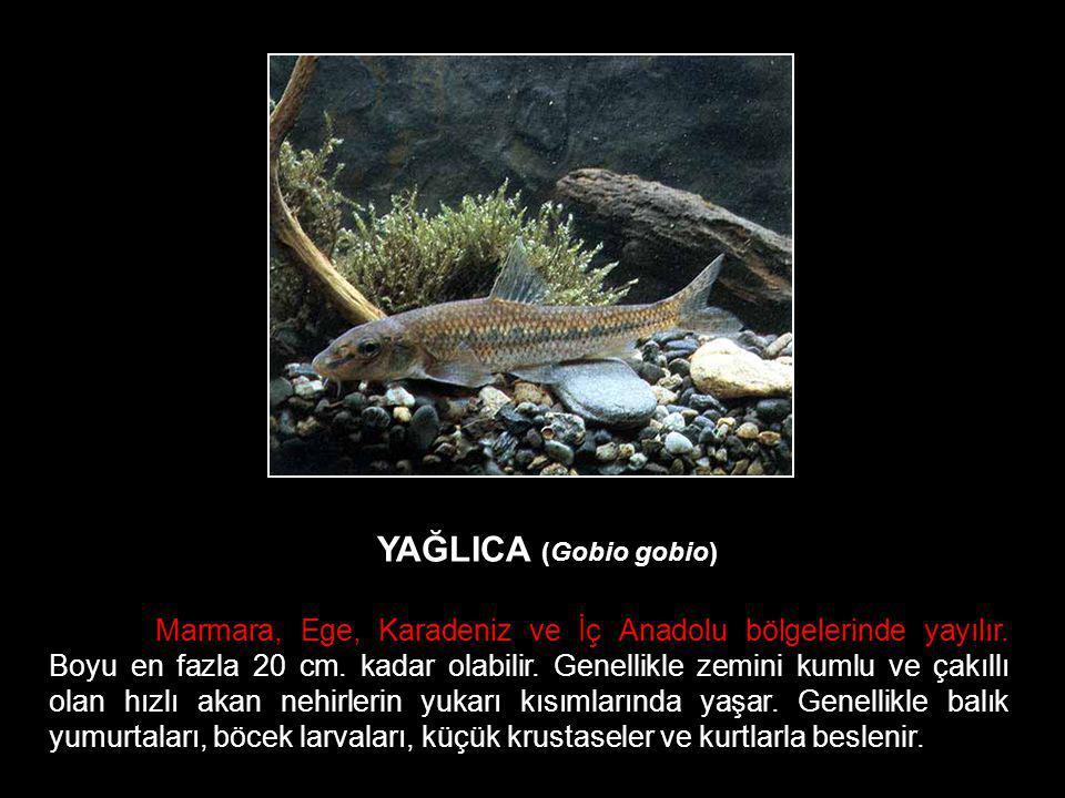 YAĞLICA (Gobio gobio) Marmara, Ege, Karadeniz ve İç Anadolu bölgelerinde yayılır. Boyu en fazla 20 cm. kadar olabilir. Genellikle zemini kumlu ve çakı