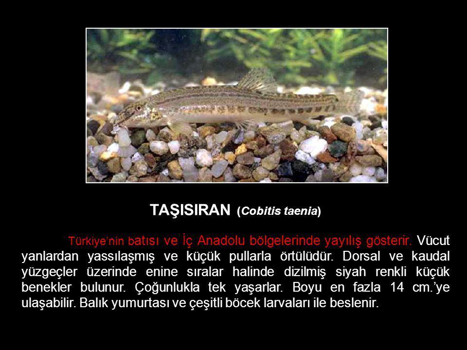 TAŞISIRAN (Cobitis taenia) Türkiye'nin b atısı ve İç Anadolu bölgelerinde yayılış gösterir. Vücut yanlardan yassılaşmış ve küçük pullarla örtülüdür. D