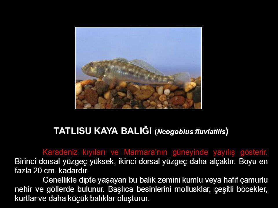 TATLISU KAYA BALIĞI (Neogobius fluviatilis ) Karadeniz kıyıları ve Marmara'nın güneyinde yayılış gösterir. Birinci dorsal yüzgeç yüksek, ikinci dorsal