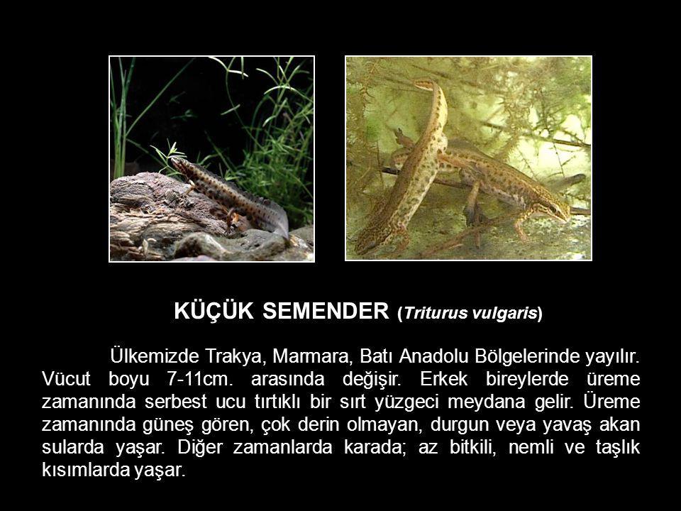KÜÇÜK SEMENDER (Triturus vulgaris) Ülkemizde Trakya, Marmara, Batı Anadolu Bölgelerinde yayılır. Vücut boyu 7-11cm. arasında değişir. Erkek bireylerde