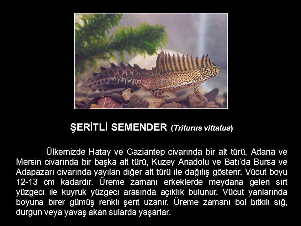 ŞERİTLİ SEMENDER (Triturus vittatus) Ülkemizde Hatay ve Gaziantep civarında bir alt türü, Adana ve Mersin civarında bir başka alt türü, Kuzey Anadolu