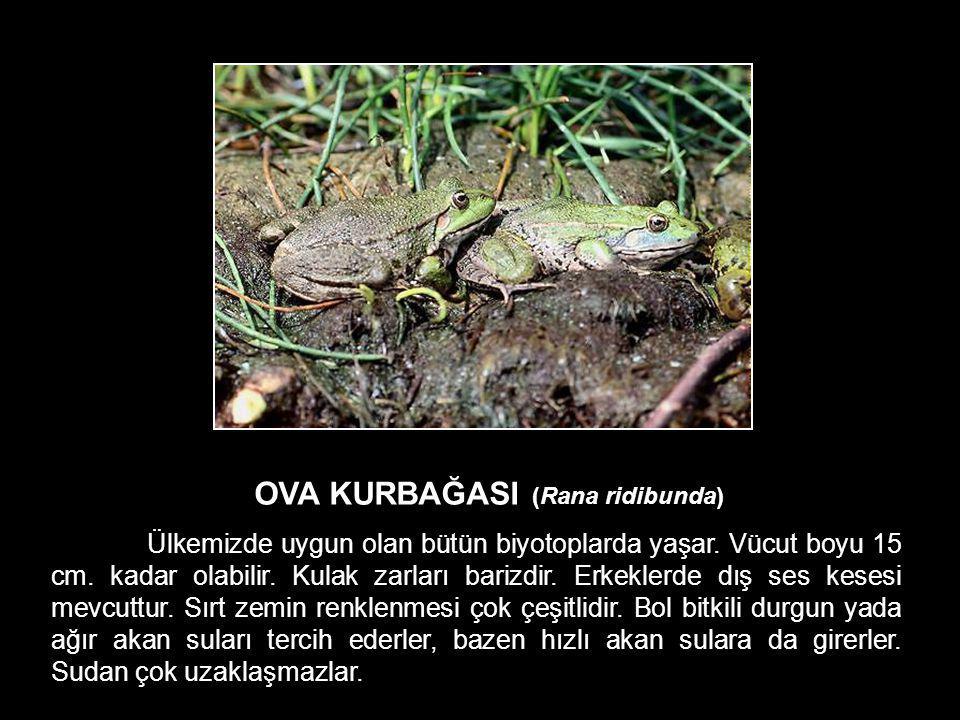 OVA KURBAĞASI (Rana ridibunda) Ülkemizde uygun olan bütün biyotoplarda yaşar. Vücut boyu 15 cm. kadar olabilir. Kulak zarları barizdir. Erkeklerde dış