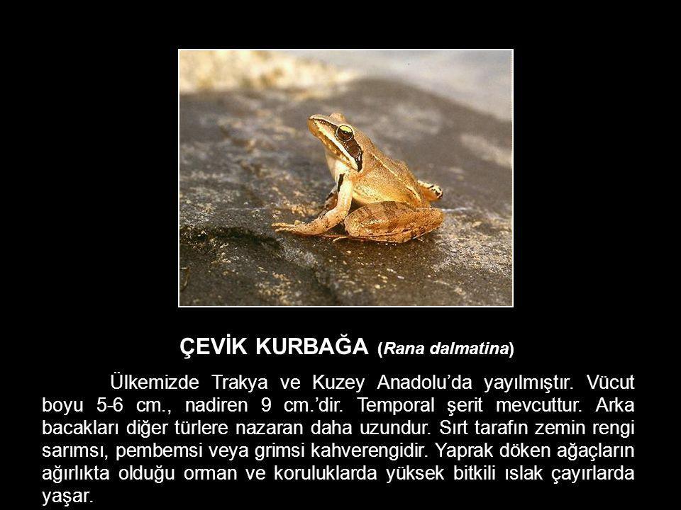 ÇEVİK KURBAĞA (Rana dalmatina) Ülkemizde Trakya ve Kuzey Anadolu'da yayılmıştır. Vücut boyu 5-6 cm., nadiren 9 cm.'dir. Temporal şerit mevcuttur. Arka