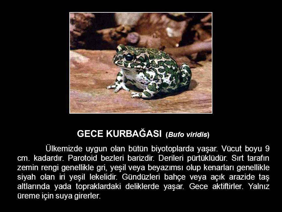 GECE KURBAĞASI (Bufo viridis) Ülkemizde uygun olan bütün biyotoplarda yaşar. Vücut boyu 9 cm. kadardır. Parotoid bezleri barizdir. Derileri pürtüklüdü