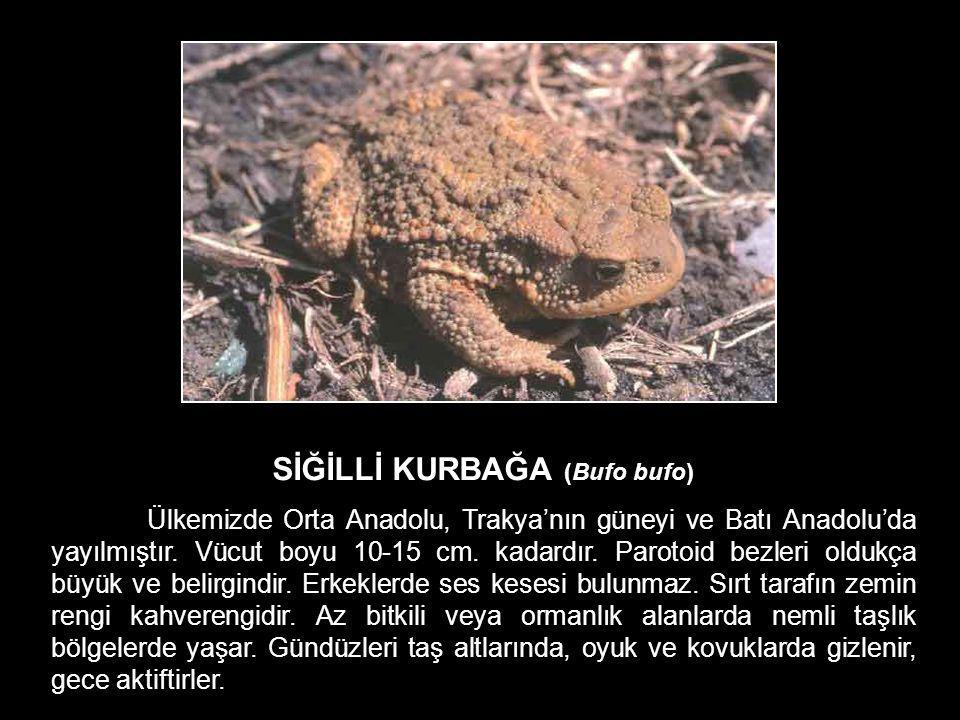SİĞİLLİ KURBAĞA (Bufo bufo) Ülkemizde Orta Anadolu, Trakya'nın güneyi ve Batı Anadolu'da yayılmıştır. Vücut boyu 10-15 cm. kadardır. Parotoid bezleri