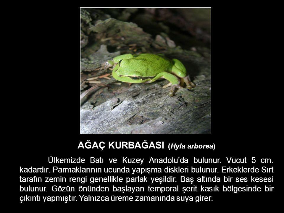 AĞAÇ KURBAĞASI (Hyla arborea) Ülkemizde Batı ve Kuzey Anadolu'da bulunur. Vücut 5 cm. kadardır. Parmaklarının ucunda yapışma diskleri bulunur. Erkekle
