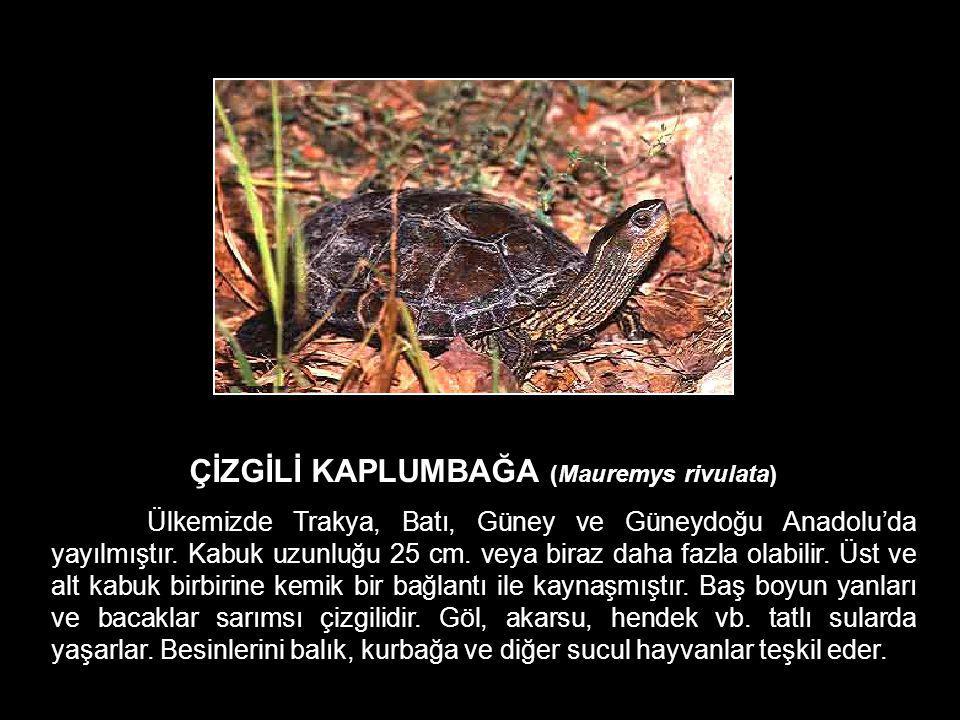ÇİZGİLİ KAPLUMBAĞA (Mauremys rivulata) Ülkemizde Trakya, Batı, Güney ve Güneydoğu Anadolu'da yayılmıştır. Kabuk uzunluğu 25 cm. veya biraz daha fazla