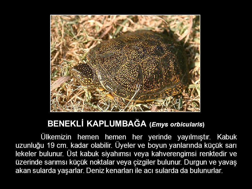 BENEKLİ KAPLUMBAĞA (Emys orbicularis) Ülkemizin hemen hemen her yerinde yayılmıştır. Kabuk uzunluğu 19 cm. kadar olabilir. Üyeler ve boyun yanlarında