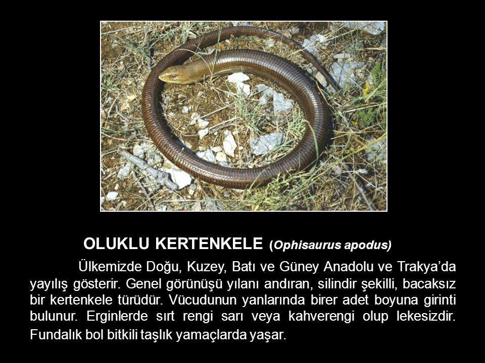 OLUKLU KERTENKELE (Ophisaurus apodus) Ülkemizde Doğu, Kuzey, Batı ve Güney Anadolu ve Trakya'da yayılış gösterir. Genel görünüşü yılanı andıran, silin
