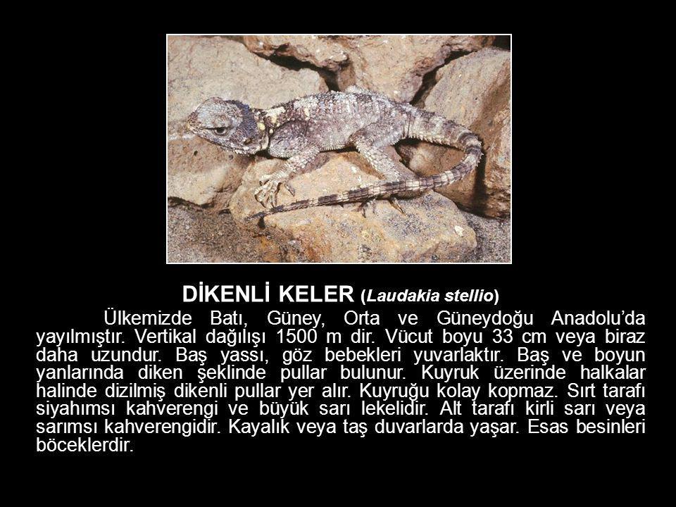 DİKENLİ KELER (Laudakia stellio) Ülkemizde Batı, Güney, Orta ve Güneydoğu Anadolu'da yayılmıştır. Vertikal dağılışı 1500 m dir. Vücut boyu 33 cm veya