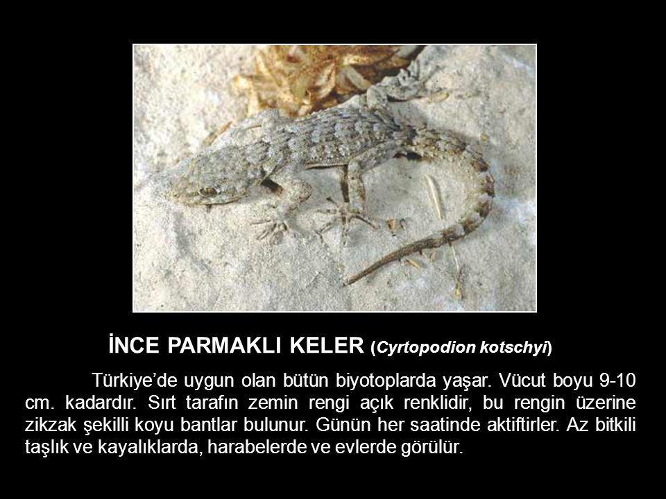 İNCE PARMAKLI KELER (Cyrtopodion kotschyi) Türkiye'de uygun olan bütün biyotoplarda yaşar. Vücut boyu 9-10 cm. kadardır. Sırt tarafın zemin rengi açık