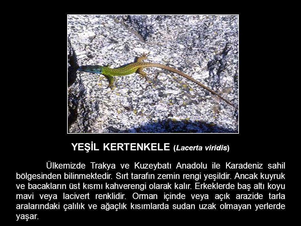 YEŞİL KERTENKELE (Lacerta viridis) Ülkemizde Trakya ve Kuzeybatı Anadolu ile Karadeniz sahil bölgesinden bilinmektedir. Sırt tarafın zemin rengi yeşil