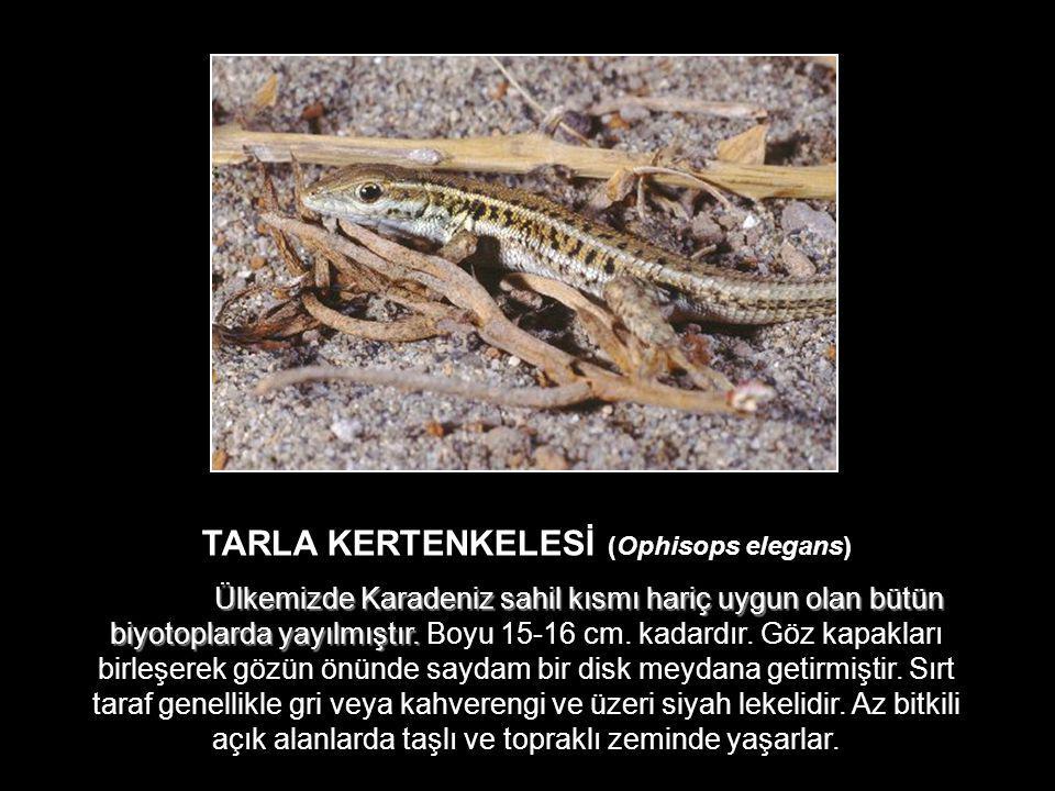 TARLA KERTENKELESİ (Ophisops elegans) Ülkemizde Karadeniz sahil kısmı hariç uygun olan bütün biyotoplarda yayılmıştır. Ülkemizde Karadeniz sahil kısmı