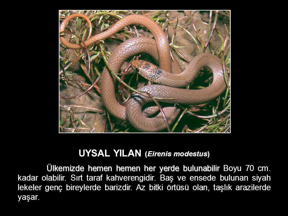 UYSAL YILAN (Eirenis modestus) Ülkemizde hemen hemen her yerde bulunabilir Ülkemizde hemen hemen her yerde bulunabilir Boyu 70 cm. kadar olabilir. Sır