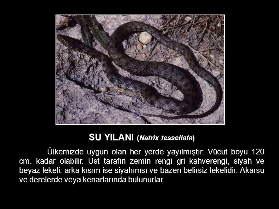 SU YILANI (Natrix tessellata) Ülkemizde uygun olan her yerde yayılmıştır. Vücut boyu 120 cm. kadar olabilir. Üst tarafın zemin rengi gri kahverengi, s