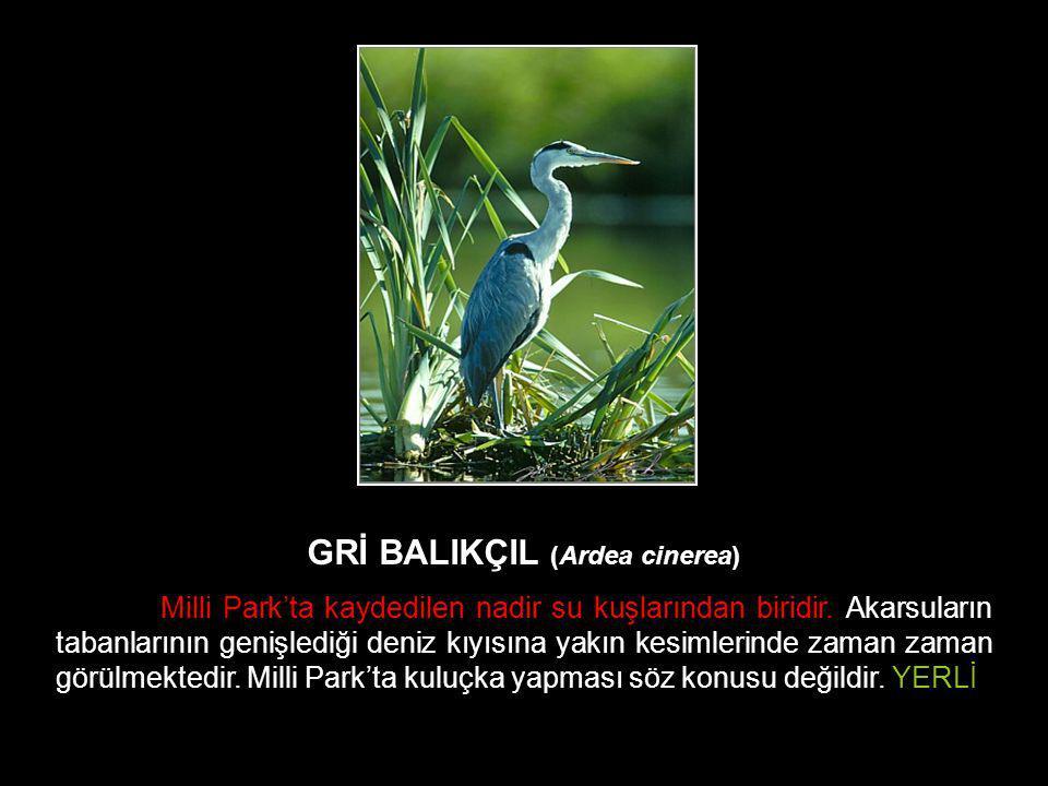 GRİ BALIKÇIL (Ardea cinerea) Milli Park'ta kaydedilen nadir su kuşlarından biridir. Akarsuların tabanlarının genişlediği deniz kıyısına yakın kesimler