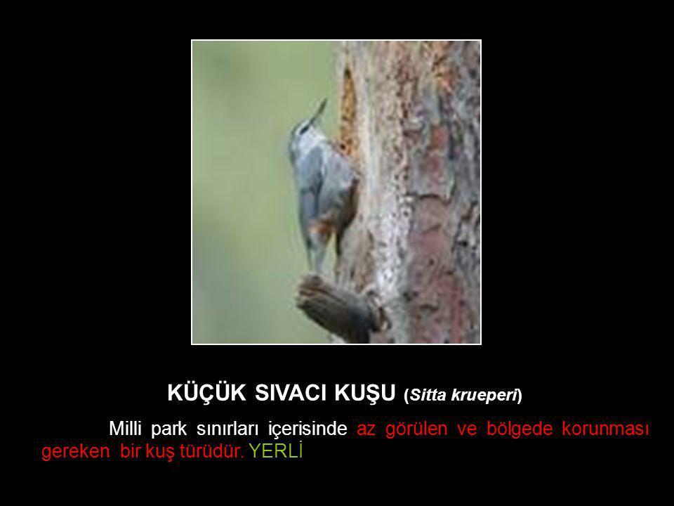 Kaz KÜÇÜK SIVACI KUŞU (Sitta krueperi) Milli park sınırları içerisinde az görülen ve bölgede korunması gereken bir kuş türüdür. YERLİ