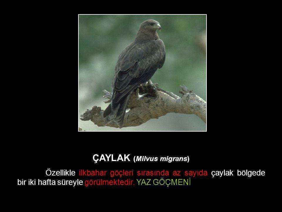 ÇAYLAK (Milvus migrans) Özellikle ilkbahar göçleri sırasında az sayıda çaylak bölgede bir iki hafta süreyle görülmektedir. YAZ GÖÇMENİ