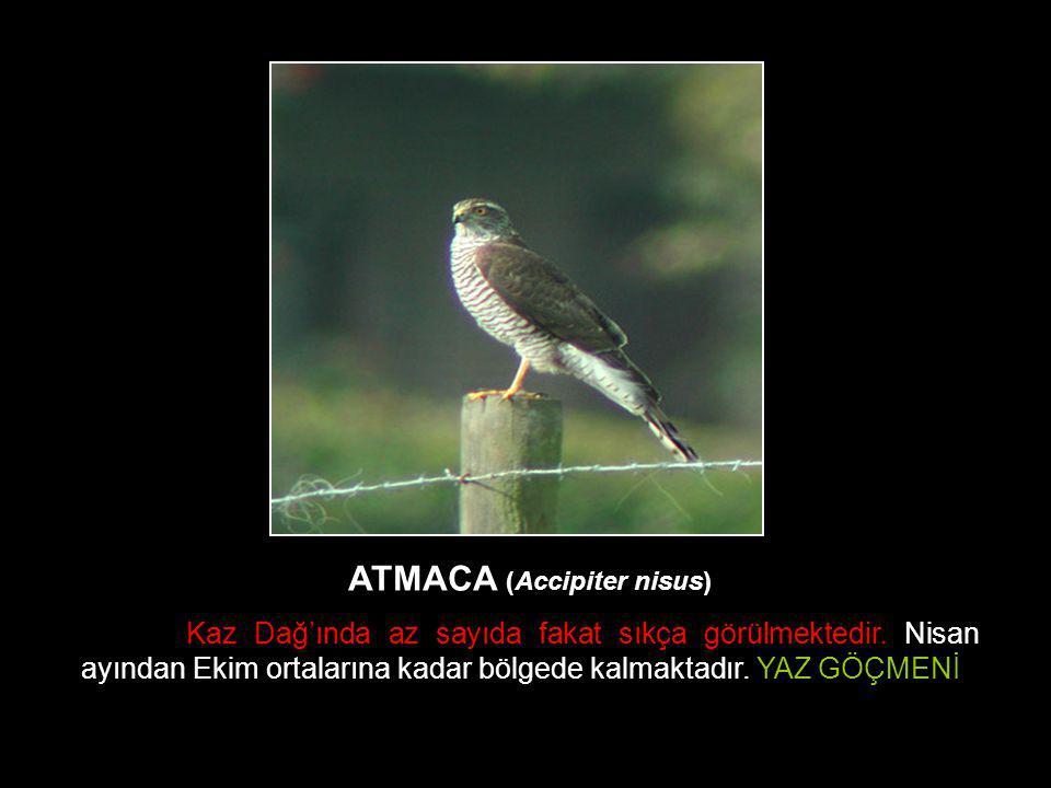 ATMACA (Accipiter nisus) Kaz Dağ'ında az sayıda fakat sıkça görülmektedir. Nisan ayından Ekim ortalarına kadar bölgede kalmaktadır. YAZ GÖÇMENİ