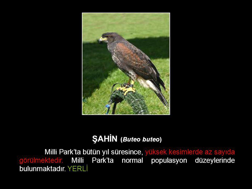ŞAHİN (Buteo buteo) Milli Park'ta bütün yıl süresince, yüksek kesimlerde az sayıda görülmektedir. Milli Park'ta normal populasyon düzeylerinde bulunma