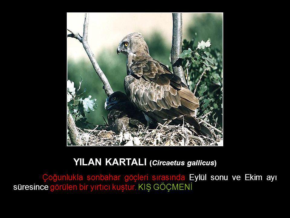YILAN KARTALI (Circaetus gallicus) Çoğunlukla sonbahar göçleri sırasında Eylül sonu ve Ekim ayı süresince görülen bir yırtıcı kuştur. KIŞ GÖÇMENİ