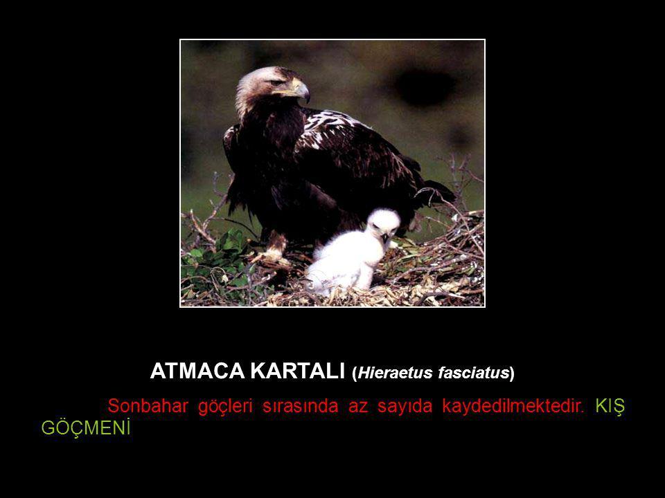 ATMACA KARTALI (Hieraetus fasciatus) Sonbahar göçleri sırasında az sayıda kaydedilmektedir. KIŞ GÖÇMENİ