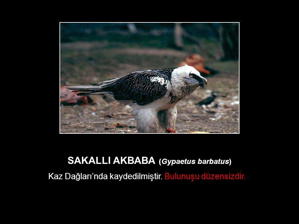 SAKALLI AKBABA (Gypaetus barbatus) Kaz Dağları'nda kaydedilmiştir. Bulunuşu düzensizdir.