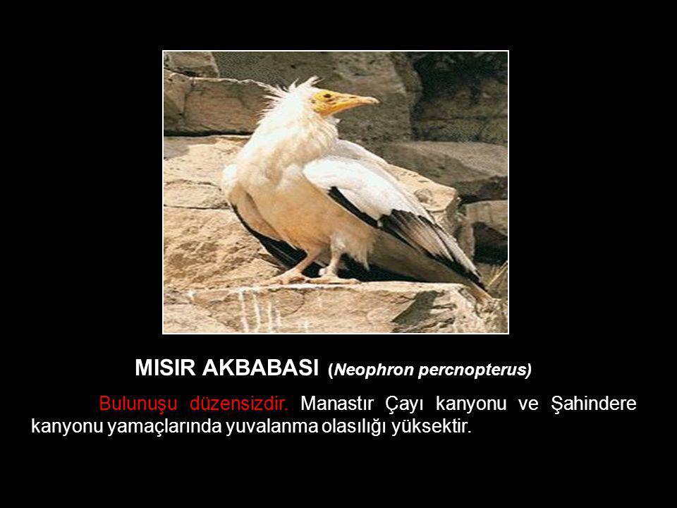 MISIR AKBABASI (Neophron percnopterus) Bulunuşu düzensizdir. Manastır Çayı kanyonu ve Şahindere kanyonu yamaçlarında yuvalanma olasılığı yüksektir.