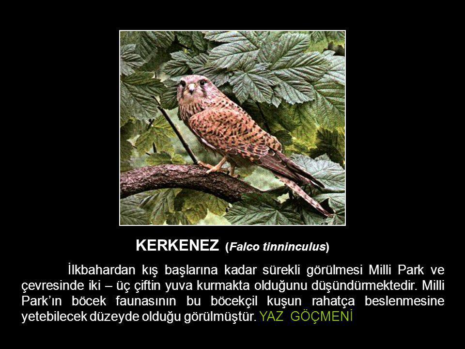 KERKENEZ (Falco tinninculus) İlkbahardan kış başlarına kadar sürekli görülmesi Milli Park ve çevresinde iki – üç çiftin yuva kurmakta olduğunu düşündü