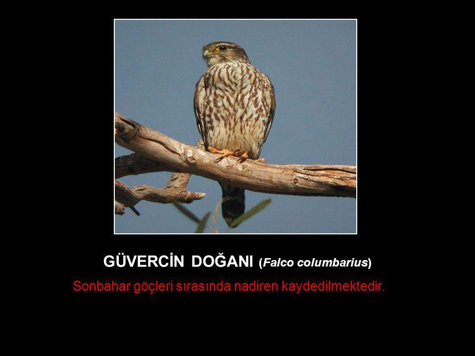 GÜVERCİN DOĞANI (Falco columbarius) Sonbahar göçleri sırasında nadiren kaydedilmektedir.
