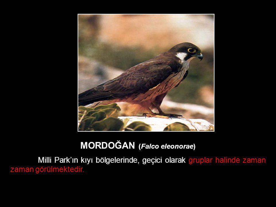 MORDOĞAN (Falco eleonorae) Milli Park'ın kıyı bölgelerinde, geçici olarak gruplar halinde zaman zaman görülmektedir.