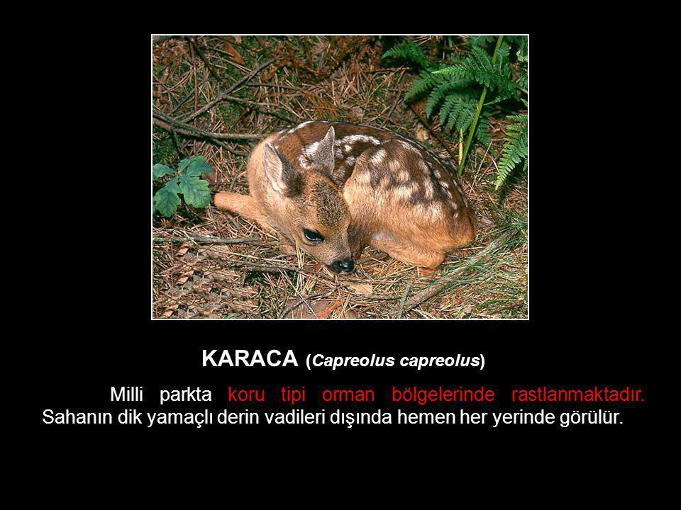 KARACA (Capreolus capreolus) Milli parkta koru tipi orman bölgelerinde rastlanmaktadır. Sahanın dik yamaçlı derin vadileri dışında hemen her yerinde g