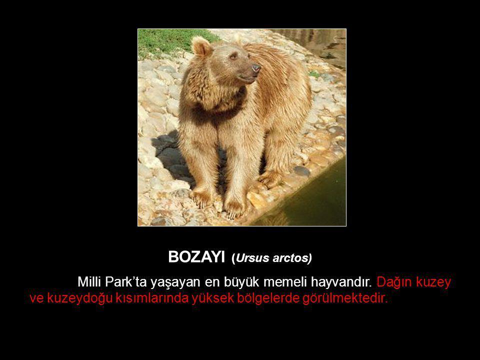 BOZAYI (Ursus arctos) Milli Park'ta yaşayan en büyük memeli hayvandır. Dağın kuzey ve kuzeydoğu kısımlarında yüksek bölgelerde görülmektedir.