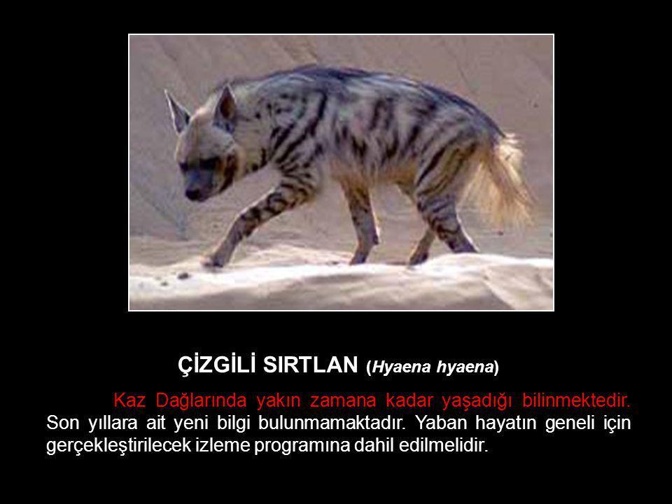ÇİZGİLİ SIRTLAN (Hyaena hyaena) Kaz Dağlarında yakın zamana kadar yaşadığı bilinmektedir. Son yıllara ait yeni bilgi bulunmamaktadır. Yaban hayatın ge