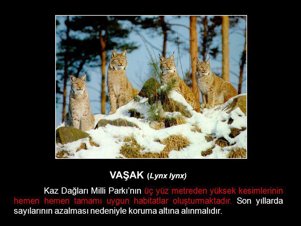 VAŞAK (Lynx lynx) Kaz Dağları Milli Parkı'nın üç yüz metreden yüksek kesimlerinin hemen hemen tamamı uygun habitatlar oluşturmaktadır. Son yıllarda sa
