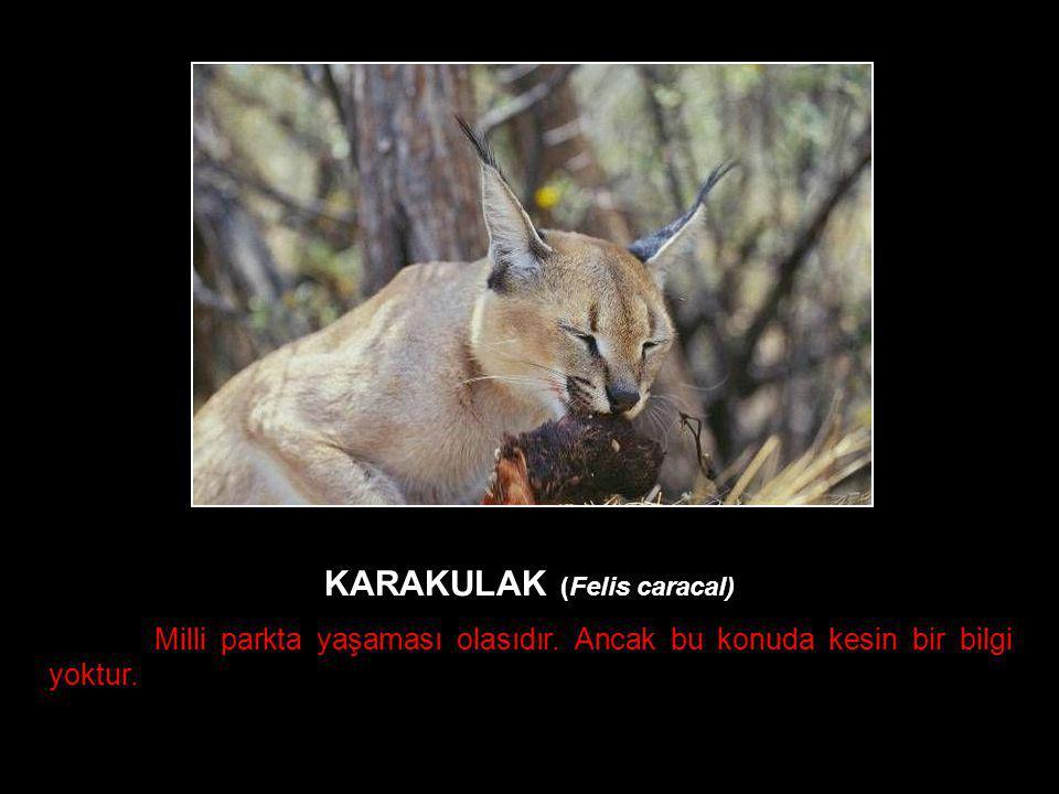 KARAKULAK (Felis caracal) Milli parkta yaşaması olasıdır. Ancak bu konuda kesin bir bilgi yoktur.