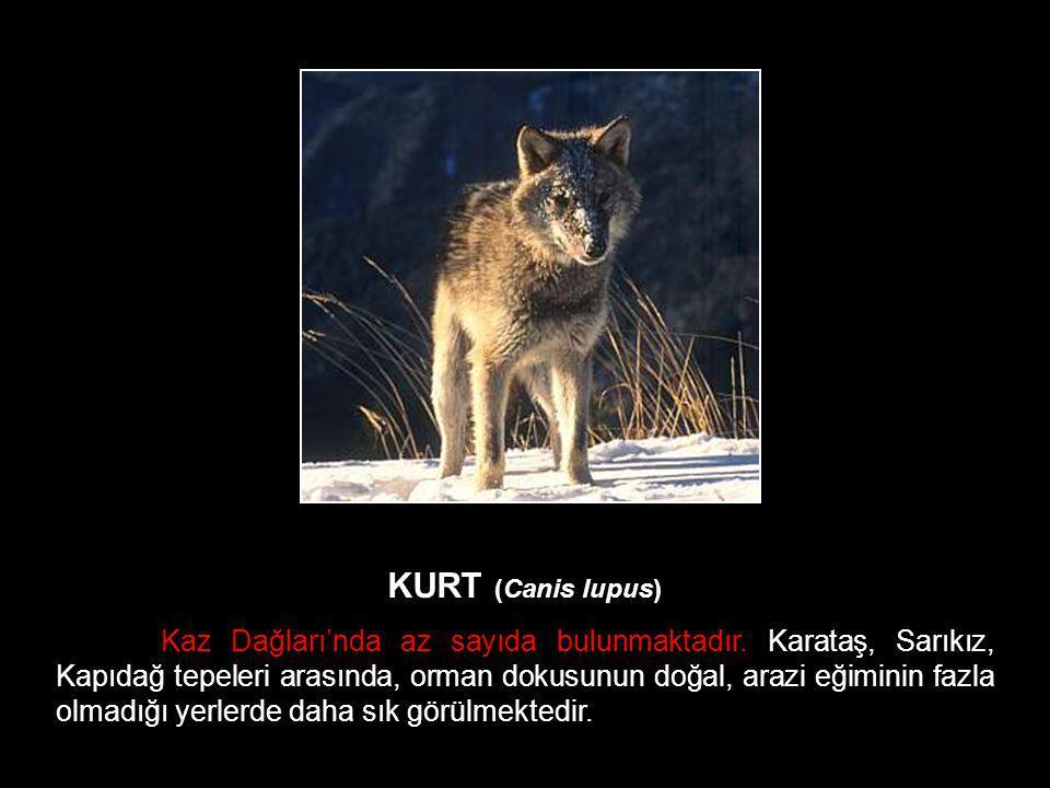 KURT (Canis lupus) Kaz Dağları'nda az sayıda bulunmaktadır. Karataş, Sarıkız, Kapıdağ tepeleri arasında, orman dokusunun doğal, arazi eğiminin fazla o