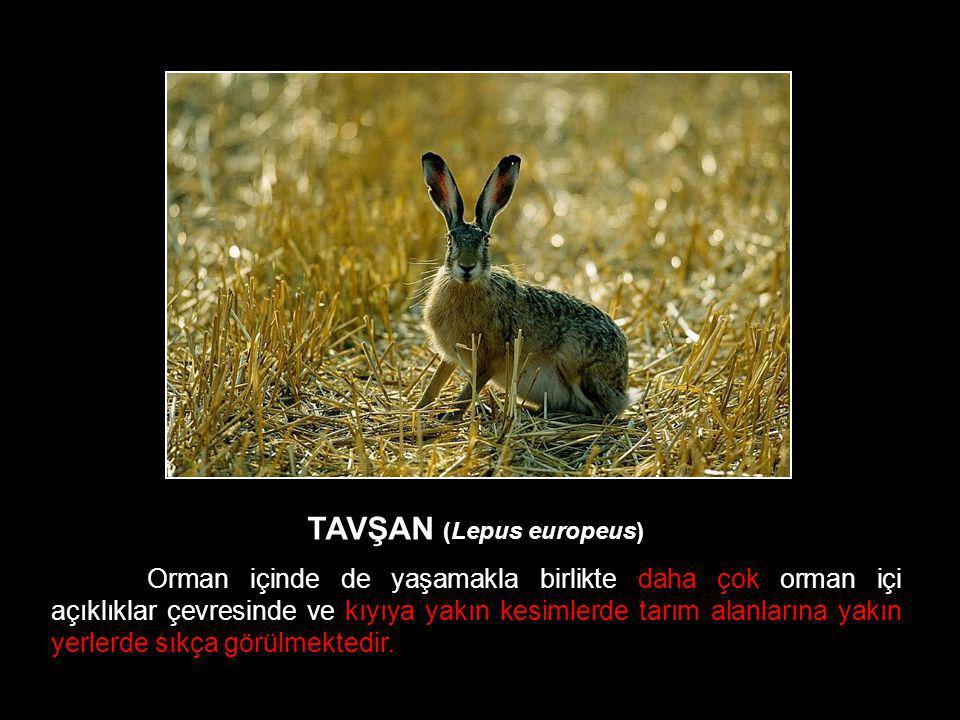 TAVŞAN (Lepus europeus) Orman içinde de yaşamakla birlikte daha çok orman içi açıklıklar çevresinde ve kıyıya yakın kesimlerde tarım alanlarına yakın