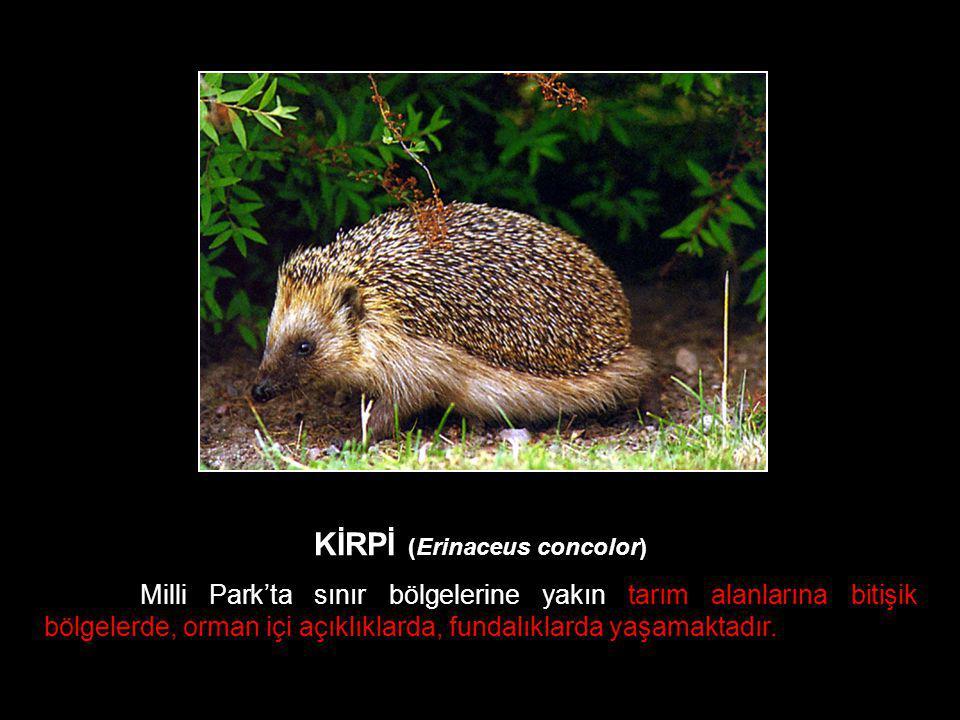 KİRPİ (Erinaceus concolor) Milli Park'ta sınır bölgelerine yakın tarım alanlarına bitişik bölgelerde, orman içi açıklıklarda, fundalıklarda yaşamaktad