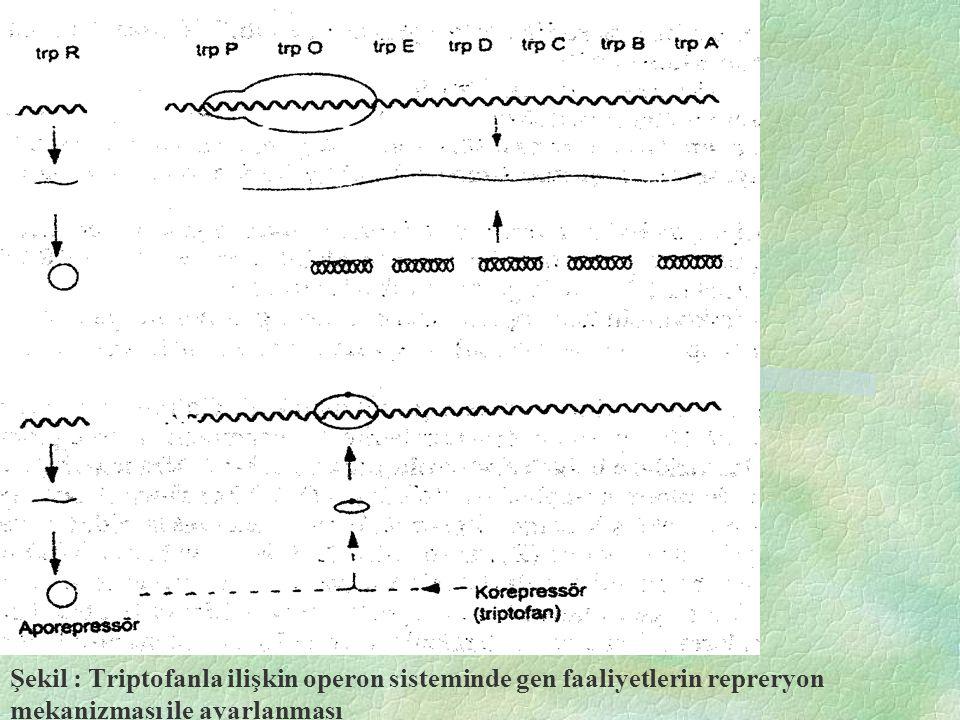 Şekil : Escherichia coli'de laktoz (lac) operonu