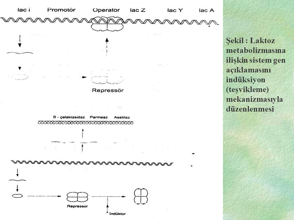 Şekil : Laktoz metabolizmasına ilişkin sistem gen açıklamasını indüksiyon (teşvikleme) mekanizmasıyla düzenlenmesi