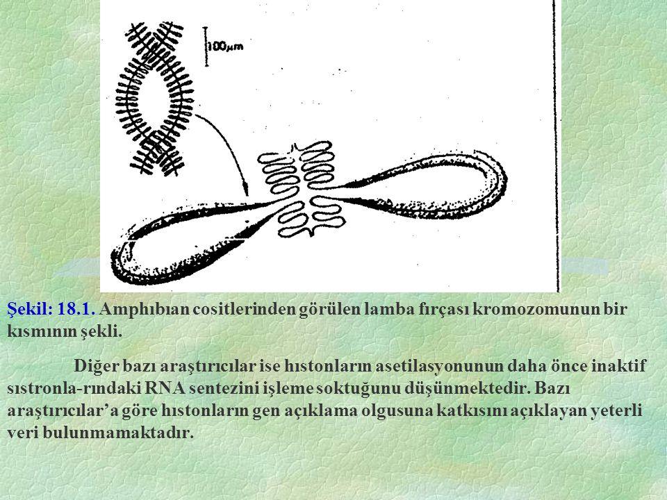Şekil: 18.1. Amphıbıan cositlerinden görülen lamba fırçası kromozomunun bir kısmının şekli. Diğer bazı araştırıcılar ise hıstonların asetilasyonunun d