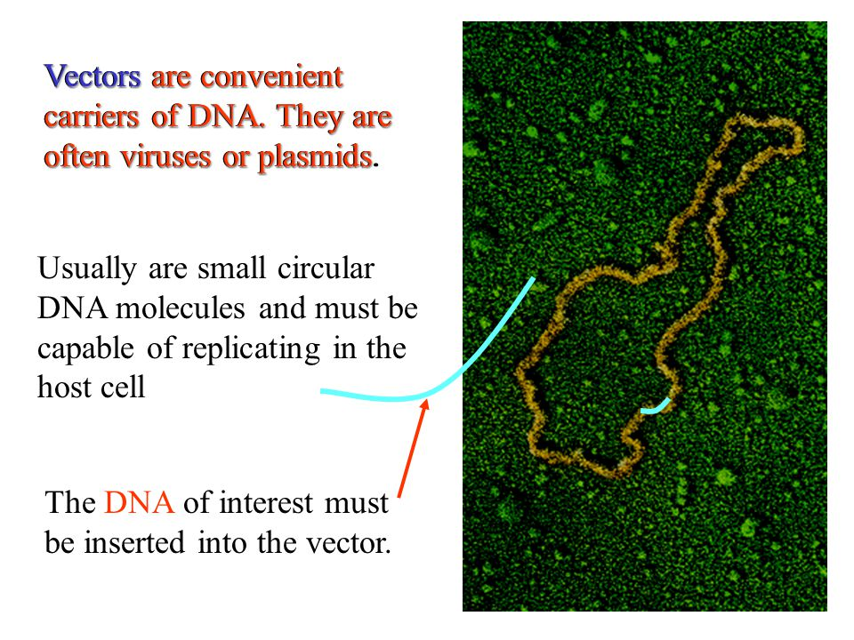 Vectors are convenient carriers of DNA. They are often viruses or plasmids Vectors are convenient carriers of DNA. They are often viruses or plasmids.