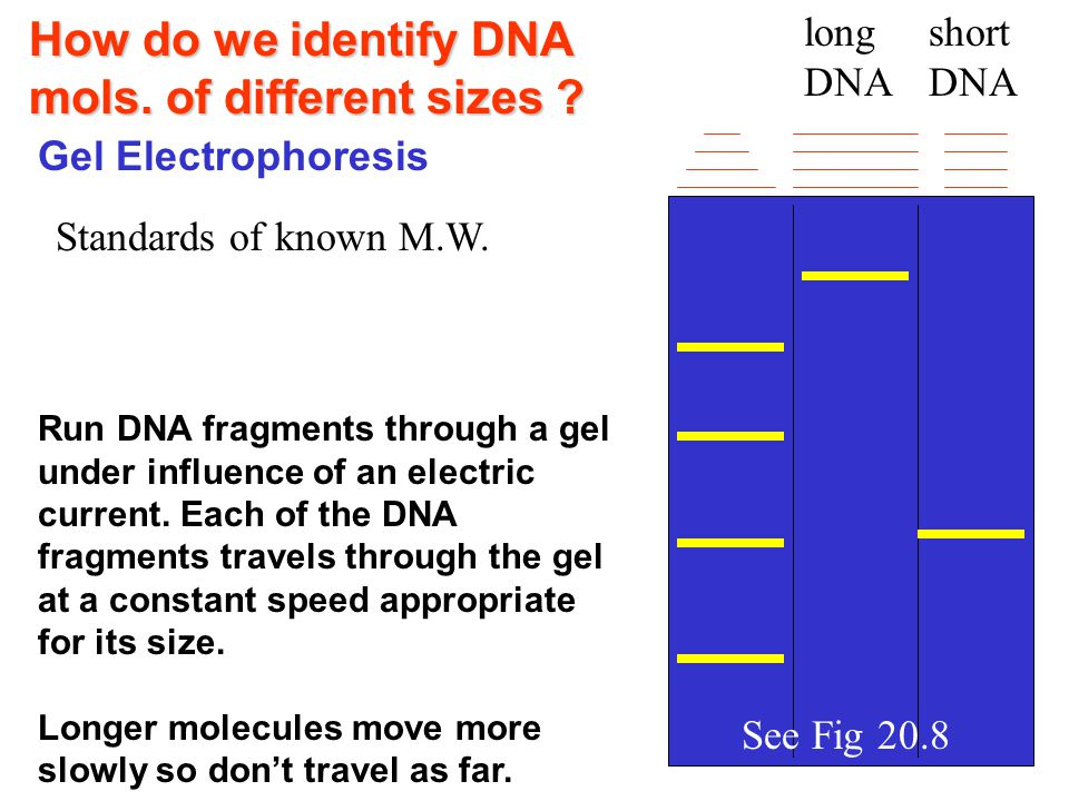 How do we identify DNA mols.of different sizes .