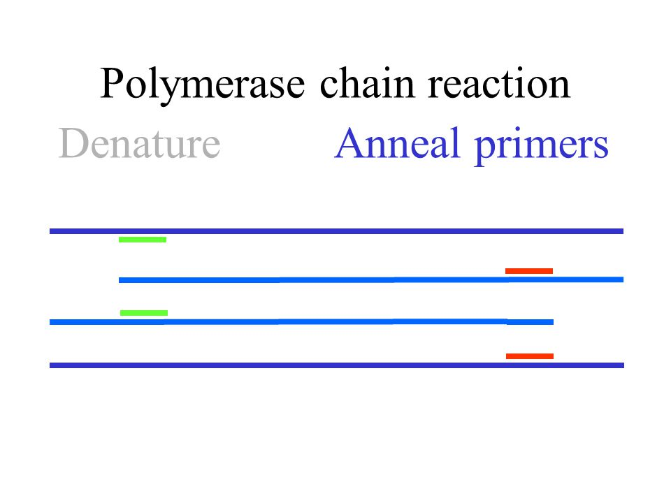Polymerase chain reaction Anneal primersDenature