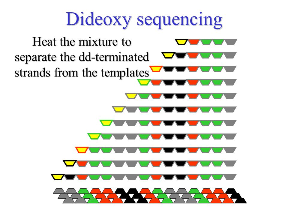 Heat the mixture to separate the dd-terminated strands from the templates Dideoxy sequencing